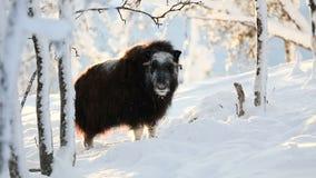 站立在冬天雪的大麝香在日落 股票视频
