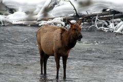 站立在冰冷的多雪的河的母牛麋 库存照片