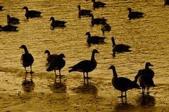 站立在冰和游泳在水中的几只加拿大鹅 库存图片