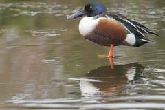 站立在冰的一只公使用铲子工作的人鸭子 免版税库存图片