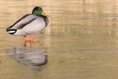 站立在冰的一只公野鸭鸭子:南安普敦共同性 图库摄影