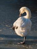 站立在冰的一条腿的天鹅 库存照片
