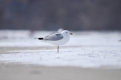 站立在冰的唯一海鸥 图库摄影