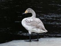站立在冰的第一冬天美洲天鹅在河旁边 库存图片