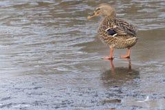 站立在冰的野鸭鸭子 免版税库存照片