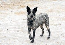 站立在冻结,多雪的地面的幼小得克萨斯Heeler狗 库存图片