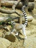 站立在几本木日志旁边的环纹尾的狐猴 免版税库存照片