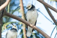 站立在分支的黑抓住衣领口的椋鸟科鸟(八哥类nigricollis) 免版税库存照片
