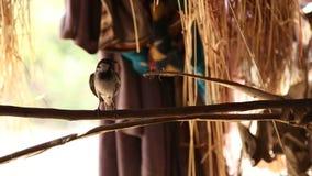 站立在分支,一部分的小鸟的领域的风雨棚建筑在乔德普尔城 影视素材
