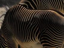 站立在动物园里的镶边斑马在奥格斯堡 免版税库存照片