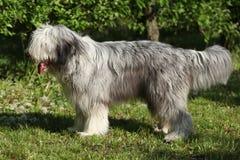 站立在单独草的有胡子的大牧羊犬 库存照片