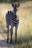 站立在单独路的小斑马驹正在寻找他的母亲 免版税库存照片