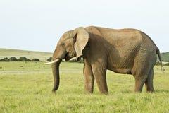 站立在厚实的草的巨大的非洲大象 免版税库存图片