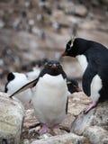 站立在另一只企鹅上的Rockhopper企鹅 免版税库存图片