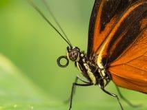 站立在叶子的黑和橙色蝴蝶特写镜头  库存照片