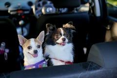 站立在后座和神色的两奇瓦瓦狗在所有者 免版税库存照片