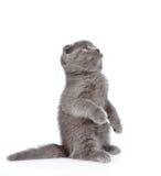 站立在后腿的嬉戏的苏格兰shorthair小猫 查出 免版税库存图片