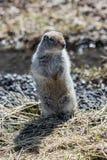 站立在后腿的逗人喜爱的地松鼠 免版税库存照片
