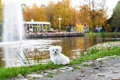 站立在喷泉旁边的马尔他小狗 免版税库存图片
