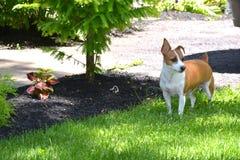 站立在围场的杰克罗素狗 免版税库存图片
