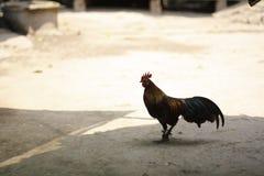 站立在土道路的泰国战斗的雄鸡在一个村庄在北泰国 库存照片