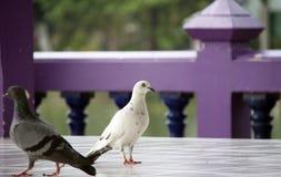 站立在地板和前景灰色鸽子的白色鸽子有紫色背景 库存图片