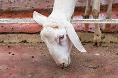站立在地面上的一只白色山羊 库存照片