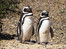 站立在地面上的对企鹅在马德林港,阿根廷 免版税库存照片