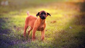 站立在地面上的小狗 免版税库存照片