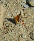 站立在地面上的美丽的被绘的夫人蝴蝶 库存照片
