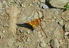 站立在地面上的被绘的夫人蝴蝶 免版税库存图片