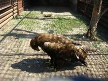 站立在地面上的鹫 免版税图库摄影