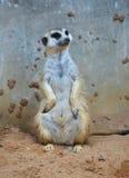站立在地面沙子的Meerkat 免版税库存图片
