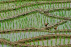 站立在地面的两只鸡 免版税库存照片