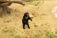 站立在地面的黑熊 库存图片