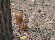 站立在地面观看的红松鼠 免版税库存图片