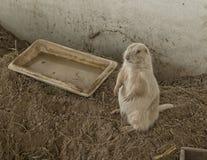 站立在地面,室内sandpit的公白色草原土拨鼠 免版税库存照片
