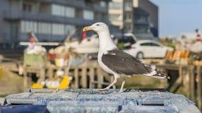 站立在垃圾容器的鲱鸥(鸥属Argentatus) 免版税库存图片