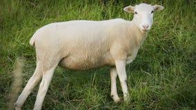 站立在堤堰的幼小羊羔绵羊嚼草叶 影视素材