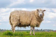 站立在堤防的上面的一只绵羊 库存照片