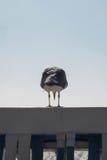站立在壁画的海鸥 免版税图库摄影