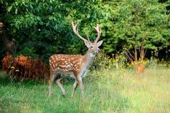 站立在夏天木头的白尾鹿 库存照片