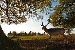 站立在夏天木头的白尾鹿 免版税库存照片