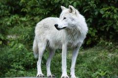 站立在夏天的北极狼 免版税库存图片