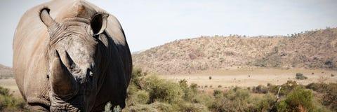 站立在多灰尘的土地的犀牛的综合图象 库存图片