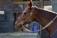 站立在大农场的马画象 免版税库存图片