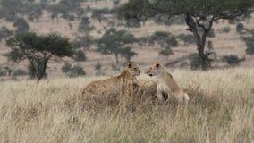 站立在大草原的两只雌狮寻找牺牲者 库存照片