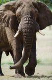 站立在大草原的大大象 闹事 肯尼亚 坦桑尼亚 serengeti 马赛马拉 库存照片