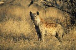站立在大草原的被察觉的鬣狗(斑鬣狗Cocuta) 免版税库存照片