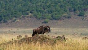 站立在大草原的角马一个小小组 巨大迁移 肯尼亚 坦桑尼亚 马塞人玛拉国家公园 免版税库存图片